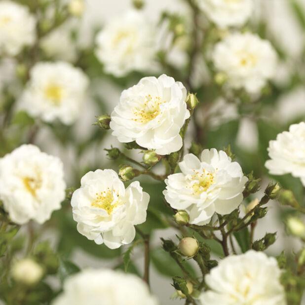 Rose Rambler 'Guirlande D´Amour', Høyde 80 cm, Hvit
