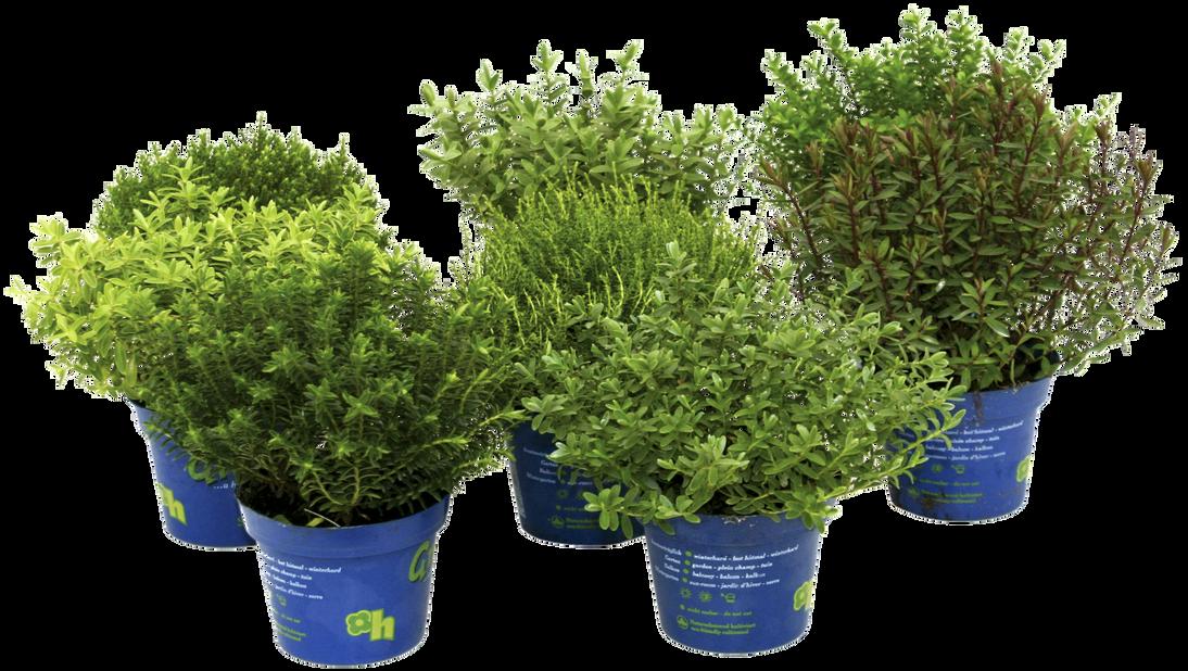 Hebe 'Green Boy's', Ø12 cm, Flere farger