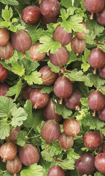 Stikkelsbær 'Hinnonmäki Red', Høyde 80 cm, Rød