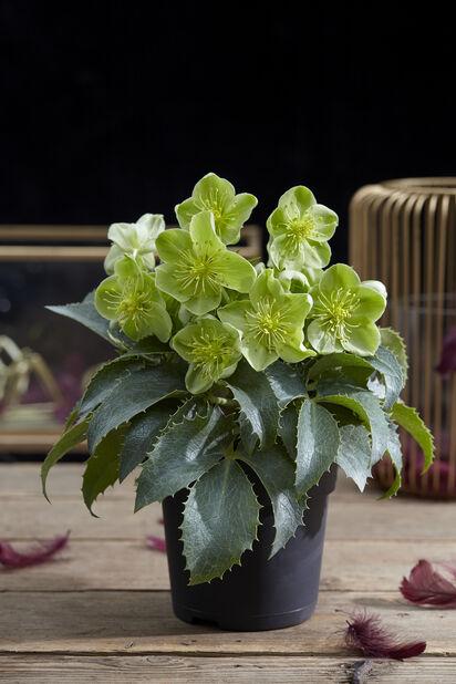 Korsika-julerose, Ø14 cm, Grønn