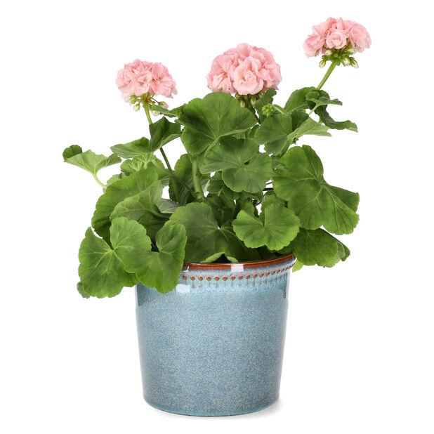 Pelargonia 'Mårbacka' / 'Dronning Ingrid', Ø14 cm, Rosa