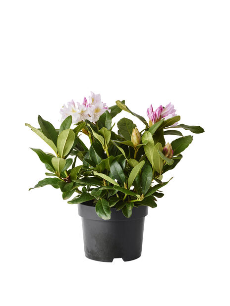 Rododendron 'Cunninghams White', Ø17 cm, Hvit
