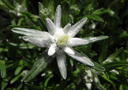 edelweissblomst