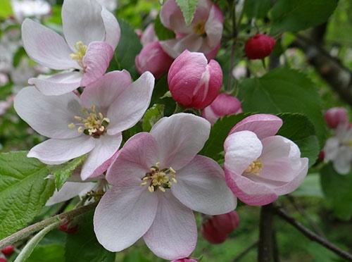 Äppelträd blommor