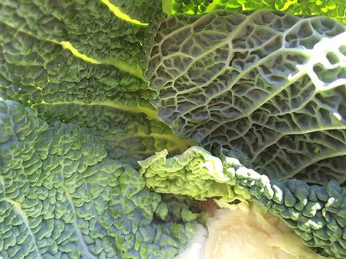 Grønnkålblader