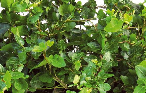 Eføyens blader