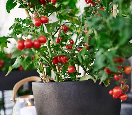 Tomatpotte