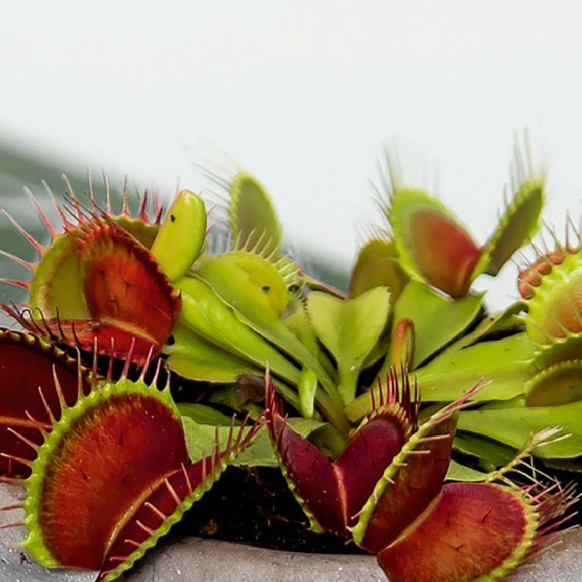 Kjøttetende plante som presang