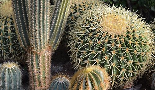 Kaktusarter