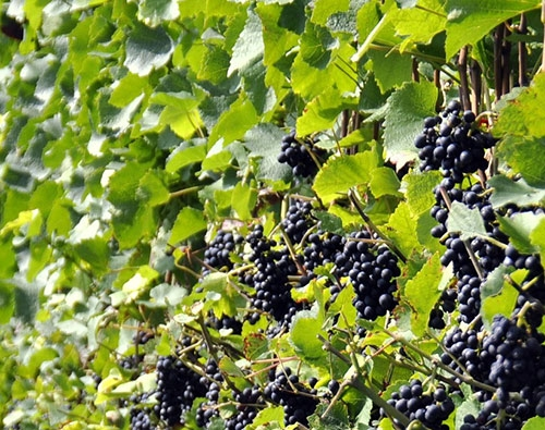 vindruvor vinrankor