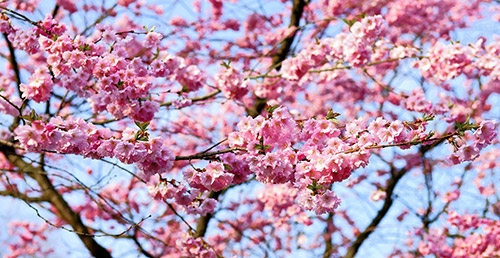 kirsebærtre rosa blomster