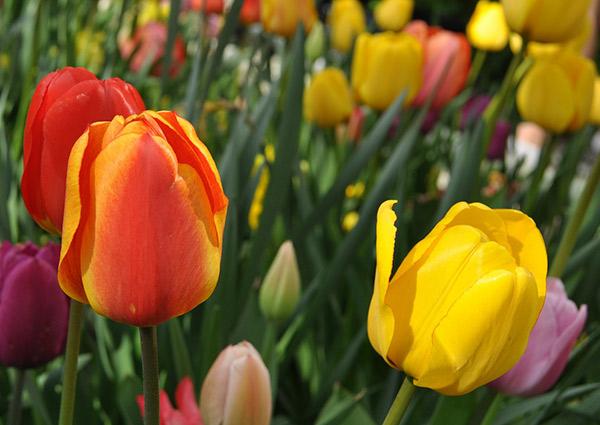 Dyrking av tulipaner