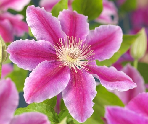 klematis blomst