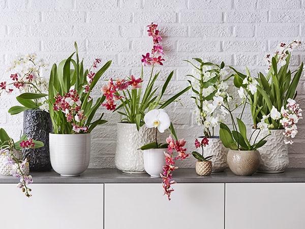 Orkidé som gave