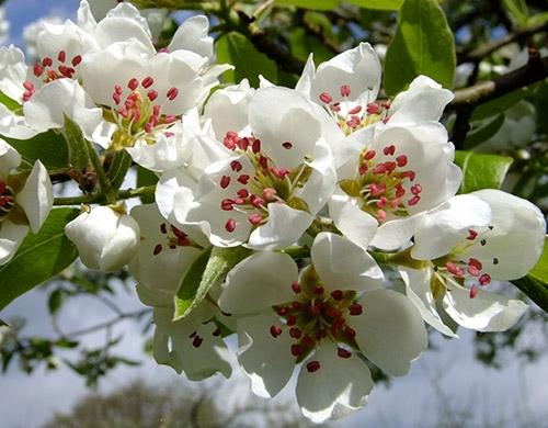 päron blommor