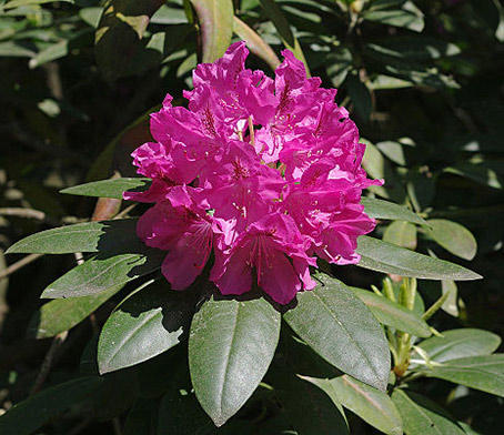Rhododendron-blomsten