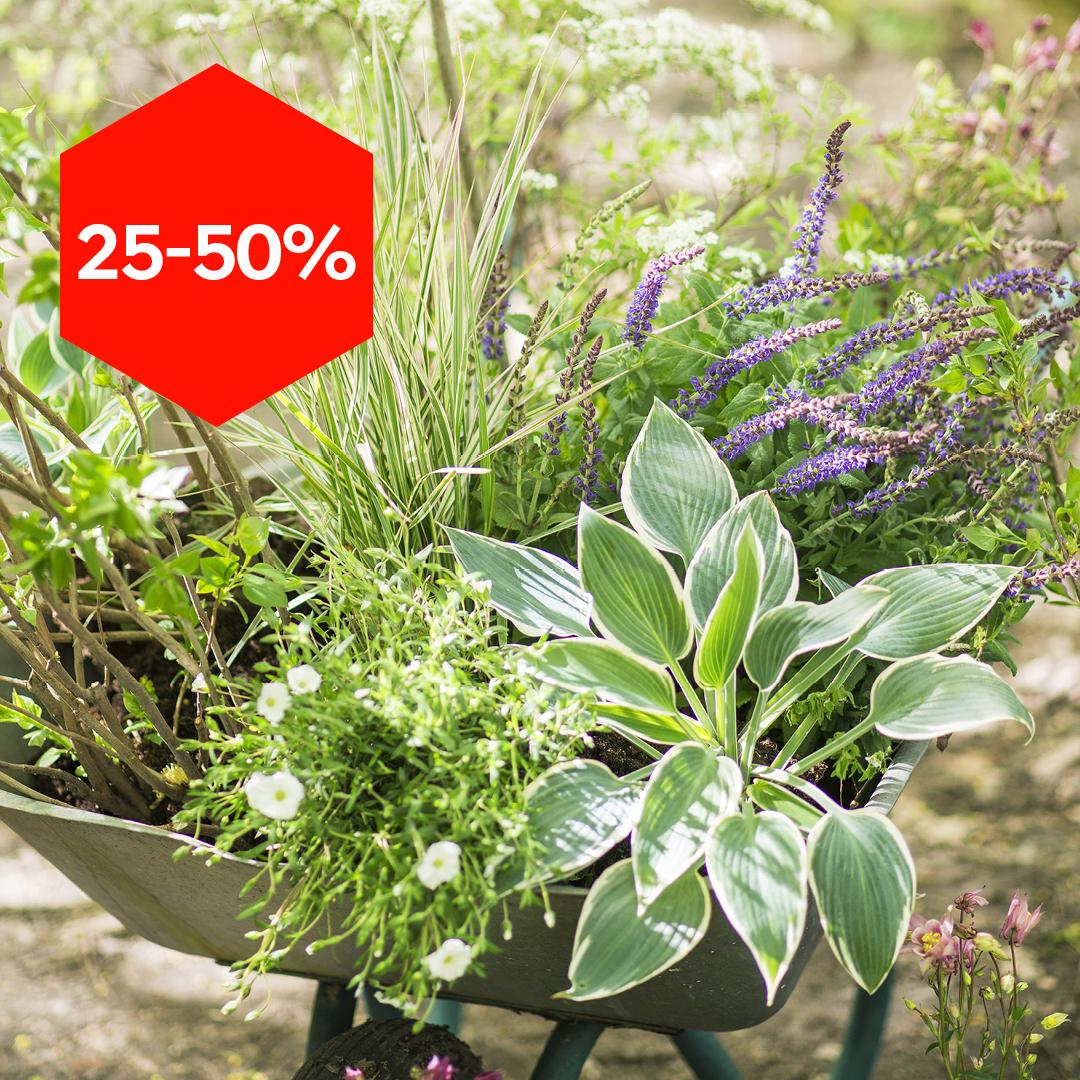 Alle flerårige uteplanter 25-50% rabatt